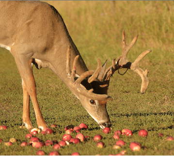 Deer-eating-apples-in-fruit-orchard-plot1